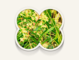komposisi bahan minyak kutus kutus daun neem